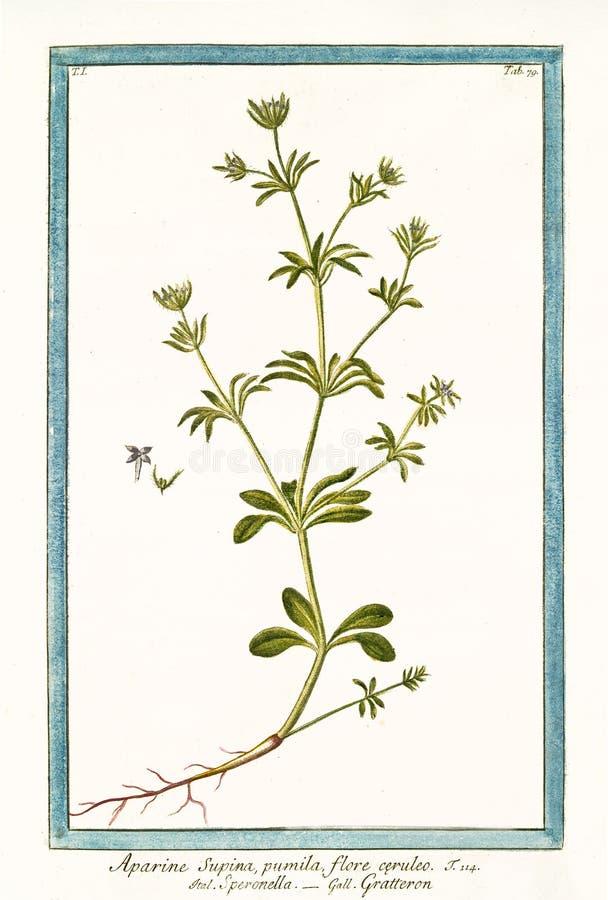 Aparine-supina Galium aparine stock abbildung
