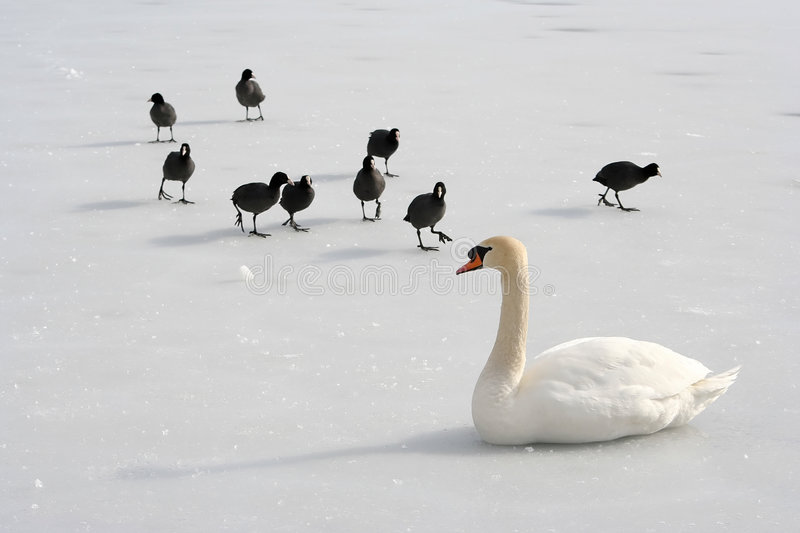 Apartheid. Swan with black water birds on a frozen lake stock photography