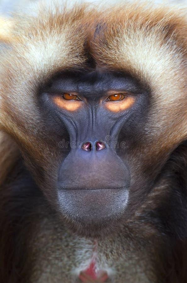 Download Ape stock image. Image of children, mammal, head, natural - 14756773