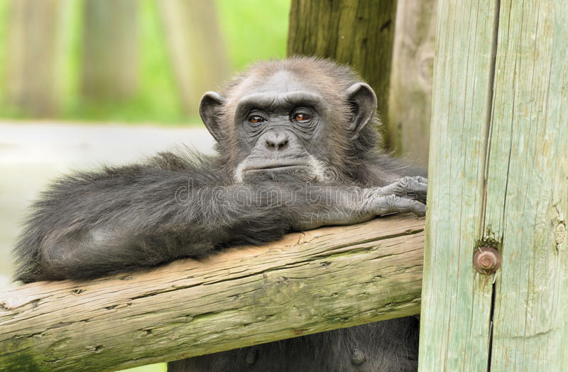 Ape. Pic of a chimpanzee that seem to be thinking royalty free stock photos