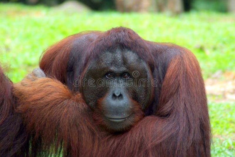 Ape. A ape looking curiosity towards the camera stock image