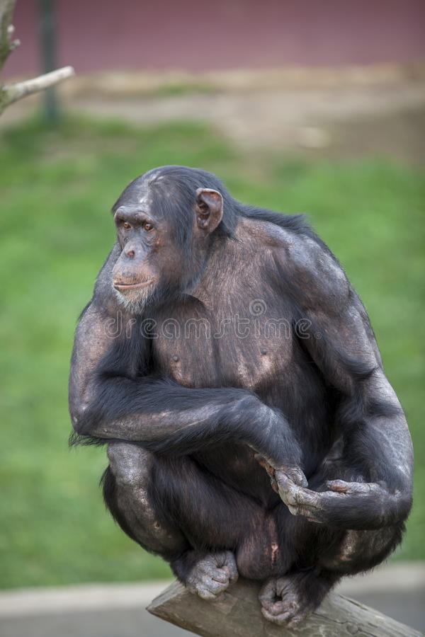 Ape Stock Photography