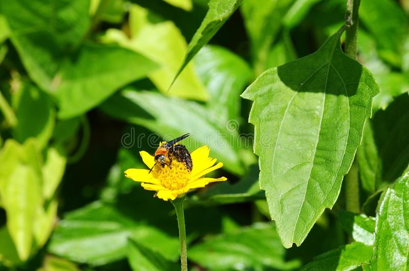 Ape arancio e nera del vespa-line e selvaggia su un wildflower del tipo di margherita giallo in Krabi, Tailandia fotografia stock