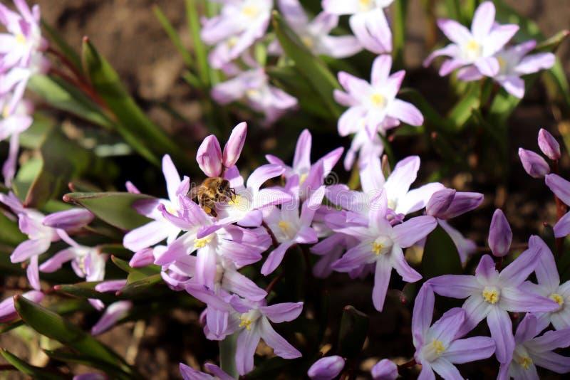 Ape che impollina uno scilla blu del fiore della molla Fiori dello Scilla che fiorisce ad aprile Fiore luminoso della molla di Sc fotografie stock libere da diritti