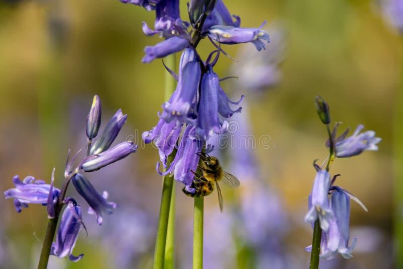 Ape che raccoglie il polline del nettare dal fiore selvaggio di campanula nella campagna del terreno boscoso fotografie stock