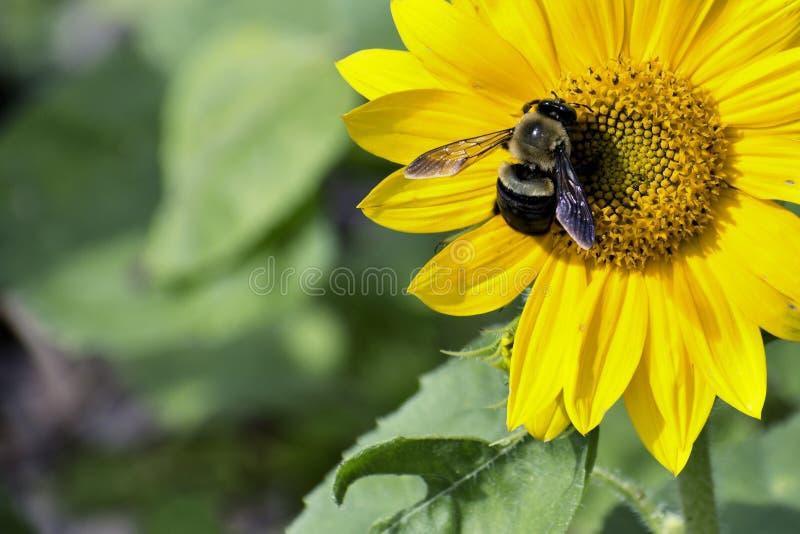 Ape che raccoglie polline su un girasole immagini stock libere da diritti
