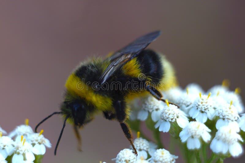 Ape che si siede sul fiore bianco del valeriana officinalis Bella mattina di estate immagine stock
