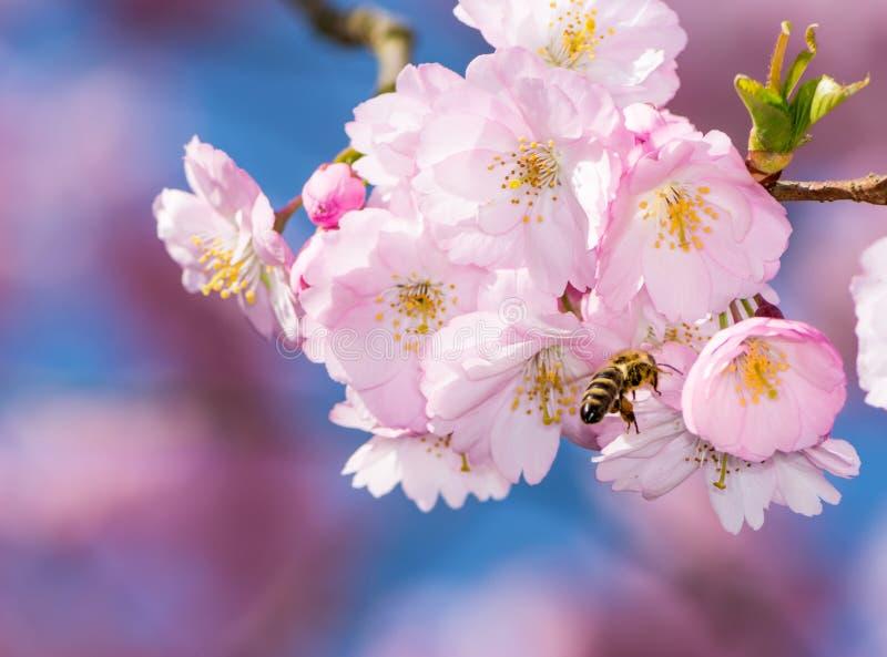 Ape a Cherry Tree di fioritura immagini stock