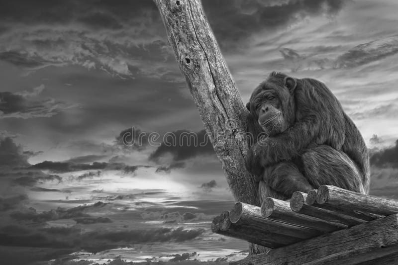 Ape chimpanzee monkey in black and white. Ape chimpanzee monkey portrait while sleeping in B&W royalty free stock images