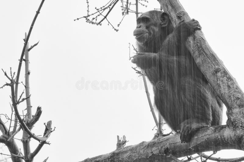 Ape chimpanzee monkey in black and white. Ape chimpanzee monkey under heavy rain stock photos