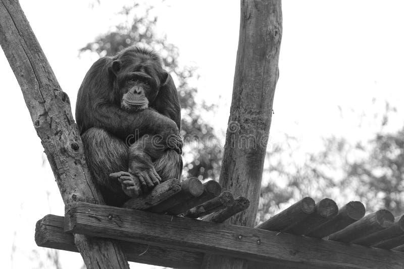 Ape chimpanzee monkey in black and white. Ape chimpanzee monkey under heavy rain stock photo