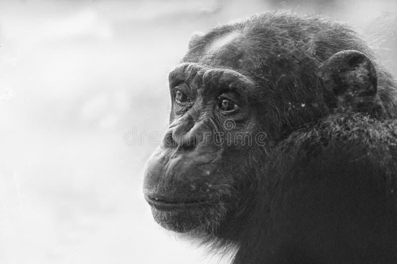 Ape chimpanzee monkey in black and white. Ape chimpanzee monkey under heavy rain royalty free stock images
