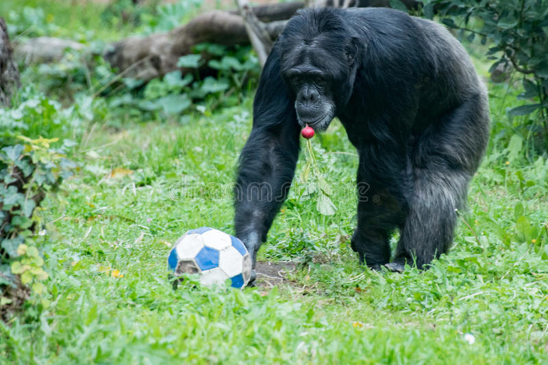 Ape chimpanzee monkey while coming to you with soccer ball. And a red radish in mouth stock photos