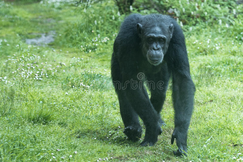 Ape chimpanzee monkey while coming to you. Ape chimpanzee monkey under heavy rain stock image