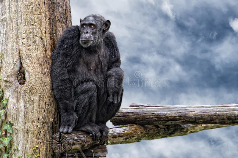 Ape chimpanzee monkey on deep blue sky background. Ape chimpanzee monkey looking at you stock photography