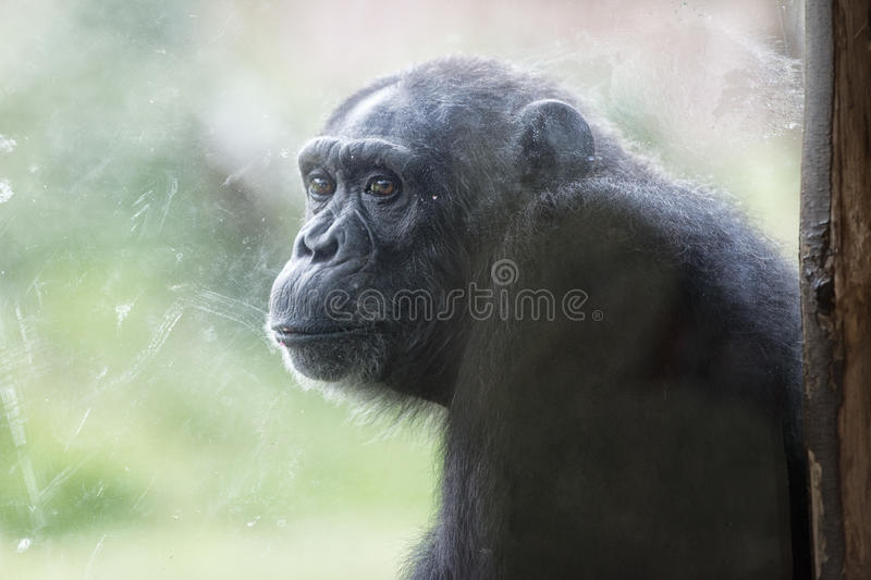 Ape chimpanzee monkey after a glass. Ape chimpanzee monkey at the zoo while looking at you royalty free stock photo