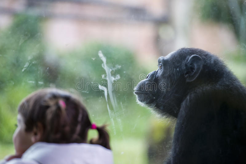Ape chimpanzee monkey after a glass. Ape chimpanzee monkey at the zoo while looking at you stock photo
