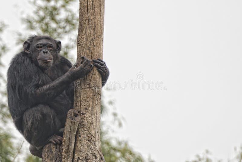 Ape chimpanzee monkey looking at you. Ape chimpanzee monkey under heavy rain royalty free stock image