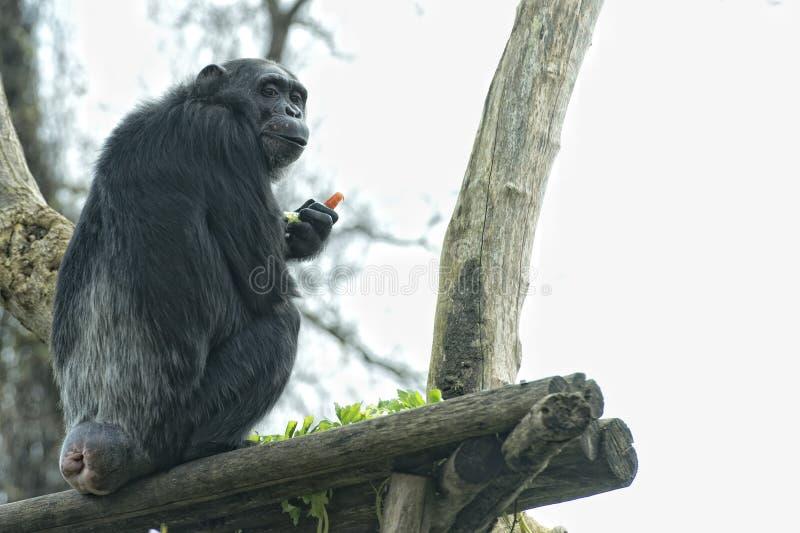 Ape chimpanzee monkey looking at you. Ape chimpanzee monkey under heavy rain stock photo