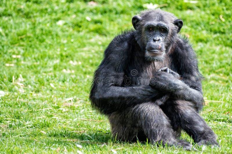 Ape chimpanzee monkey while resting. Ape chimpanzee monkey looking at you royalty free stock photography
