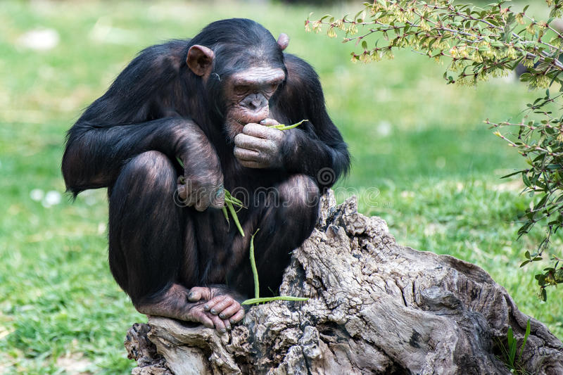 Ape chimpanzee monkey while resting. Ape chimpanzee monkey looking at you royalty free stock photo