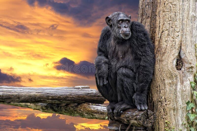 Ape chimpanzee monkey on sunset background. Ape chimpanzee monkey looking at you royalty free stock photo