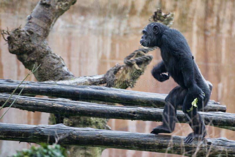 Ape chimpanzee monkey. Under heavy rain royalty free stock photo