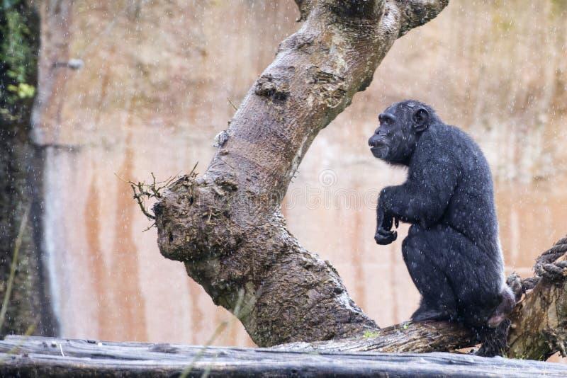 Ape chimpanzee monkey. Under heavy rain stock image