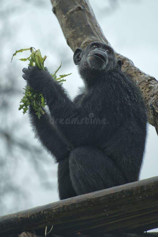 Ape chimpanzee monkey. Under heavy rain royalty free stock image