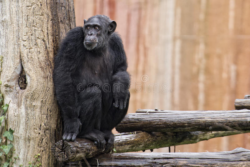 Ape chimpanzee monkey. Under heavy rain stock photo