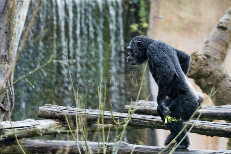 Ape chimpanzee monkey. Under heavy rain royalty free stock images