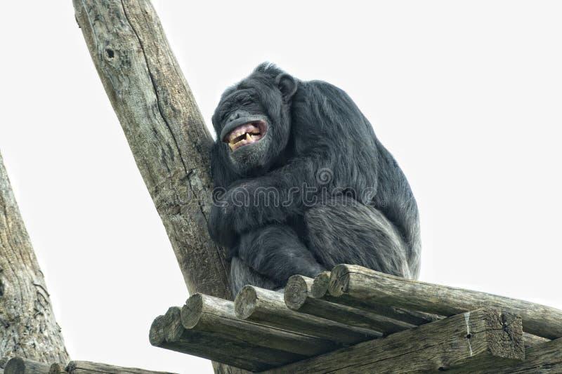 Ape chimpanzee monkey while yawning. Ape chimpanzee monkey looking at you stock photos