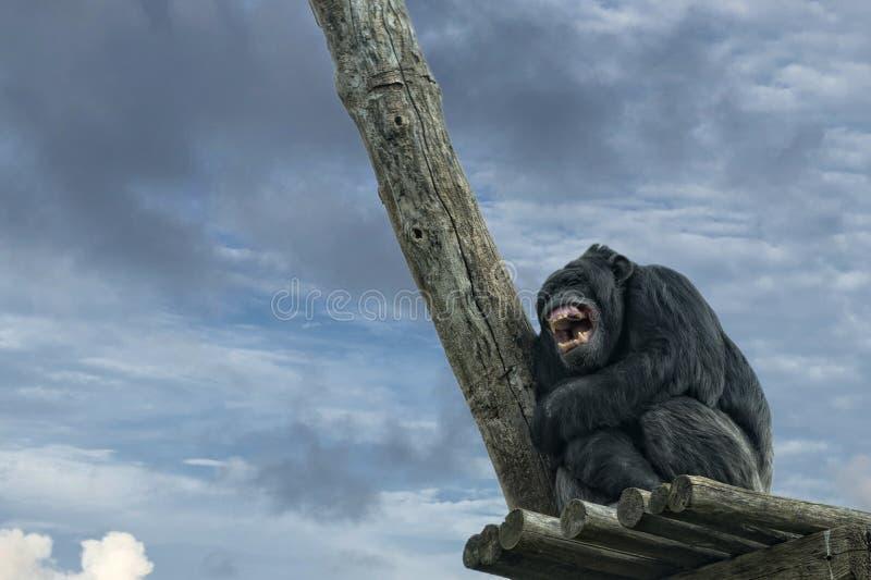 Ape chimpanzee monkey while yawning. Ape chimpanzee monkey looking at you stock image