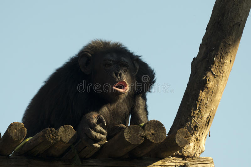 Ape chimpanzee monkey while yawning. Ape chimpanzee monkey looking at you stock photo