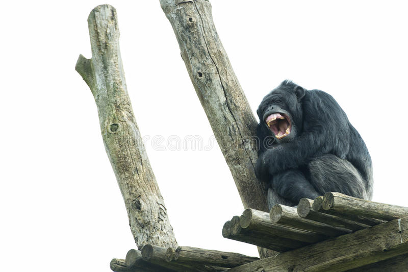 Ape chimpanzee monkey while yawning. Ape chimpanzee monkey under heavy rain royalty free stock image
