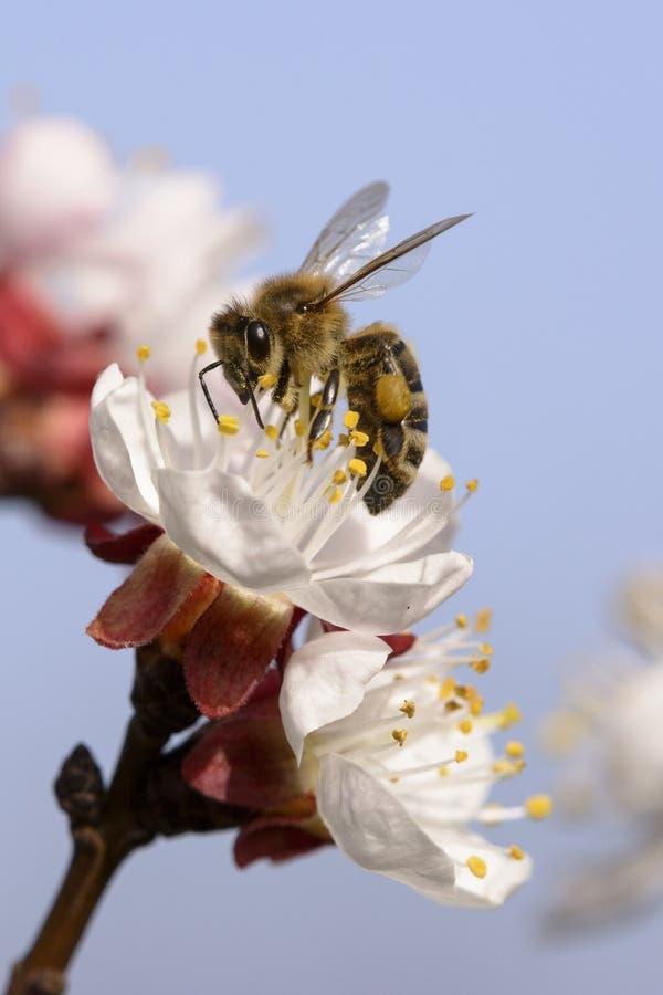 Ape del miele che lavora al fiore dell'albicocca fotografie stock libere da diritti