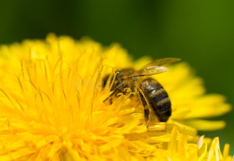 Ape del miele che raccoglie coregone lavarello fotografie stock