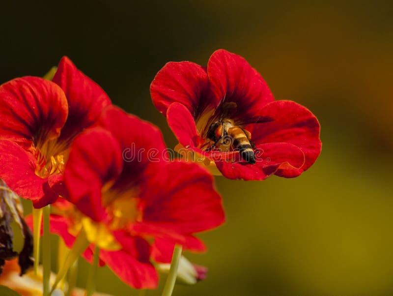 Ape del miele che raccoglie nettare dai fiori rossi, Calcutta, India immagine stock