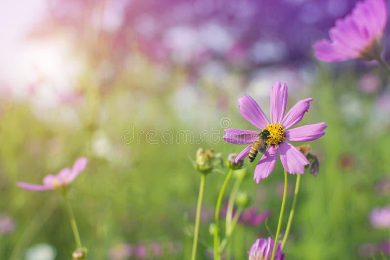 Ape del miele che raccoglie polline dai bei fiori rosa o porpora di cosmos bipinnatus dell'universo nel fuoco molle al parco con  fotografia stock