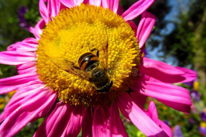Ape del miele che raccoglie polline su un bello fiore giallo e porpora immagini stock