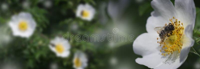 Ape del miele che si siede sul fiore bianco immagini stock libere da diritti