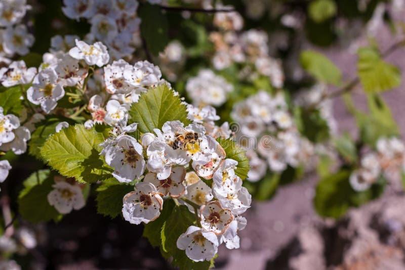 Ape del miele sedersi sul fiore di ciliegia di fioritura fotografia stock libera da diritti