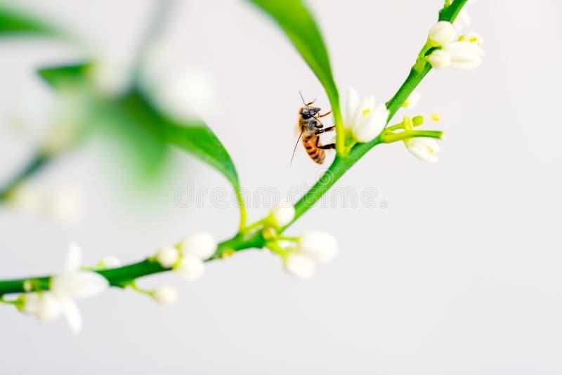Download Ape del miele sul fiore fotografia stock. Immagine di esterno - 117978182