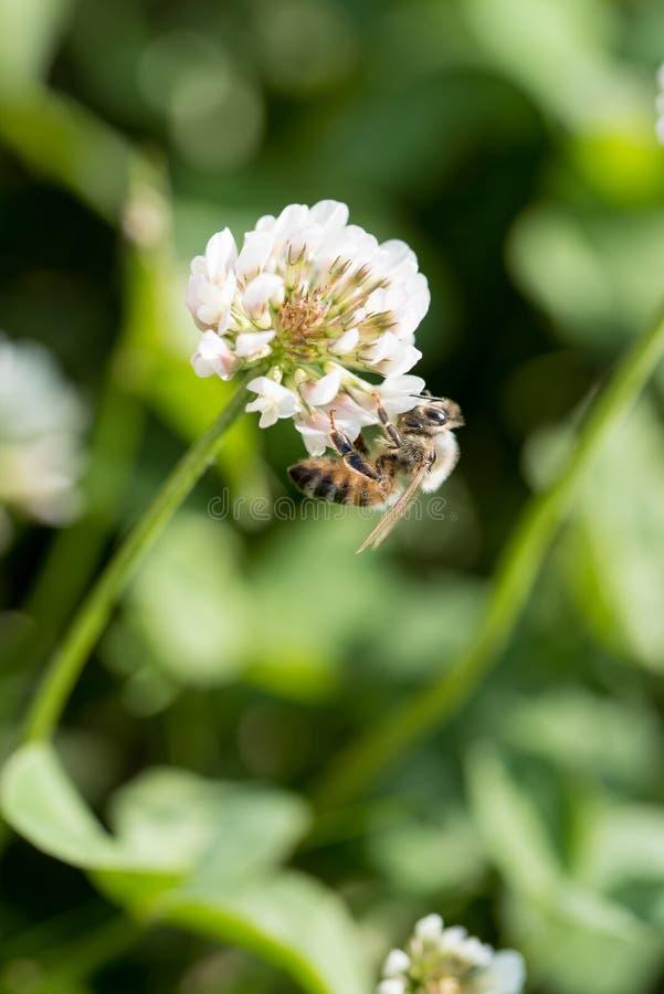 Ape del miele sul fiore del trifoglio del trifoglio nel campo verde fotografia stock libera da diritti