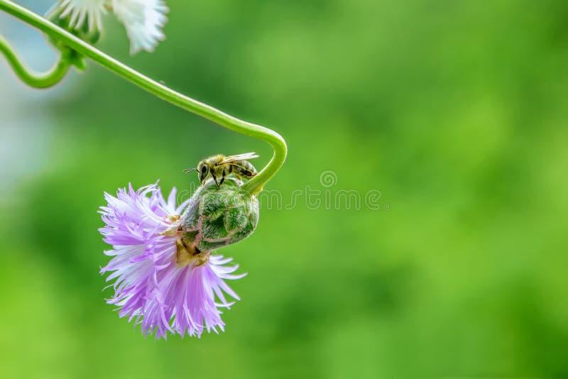 Ape del miele sul fiore della centaurea Priorit? bassa verde della natura fotografia stock