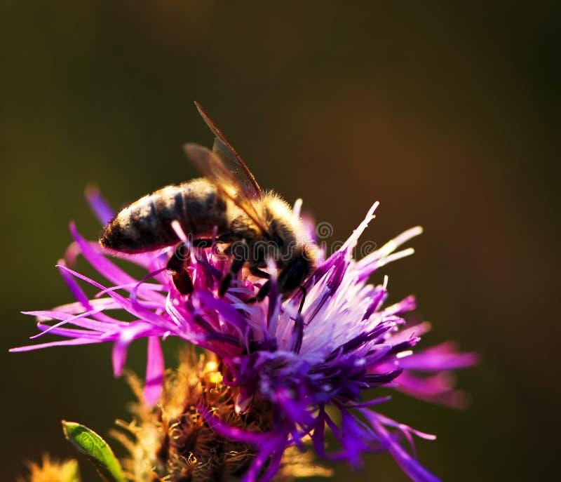 Ape del miele sulla centaurea fotografie stock