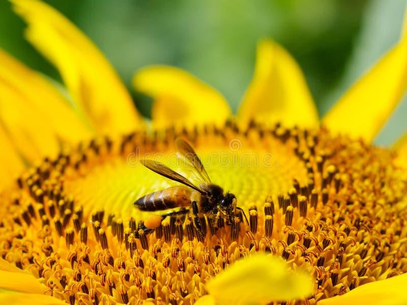 Ape di atterraggio con il girasole di fioritura fotografie stock libere da diritti