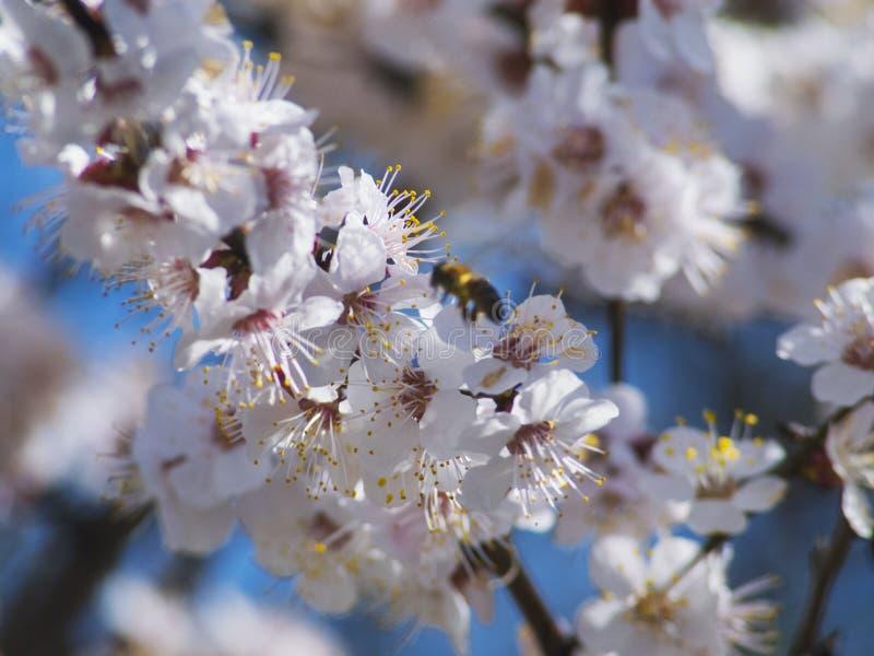 Ape di fioritura piacevole del defocuse e dell'albero da frutto fotografia stock libera da diritti
