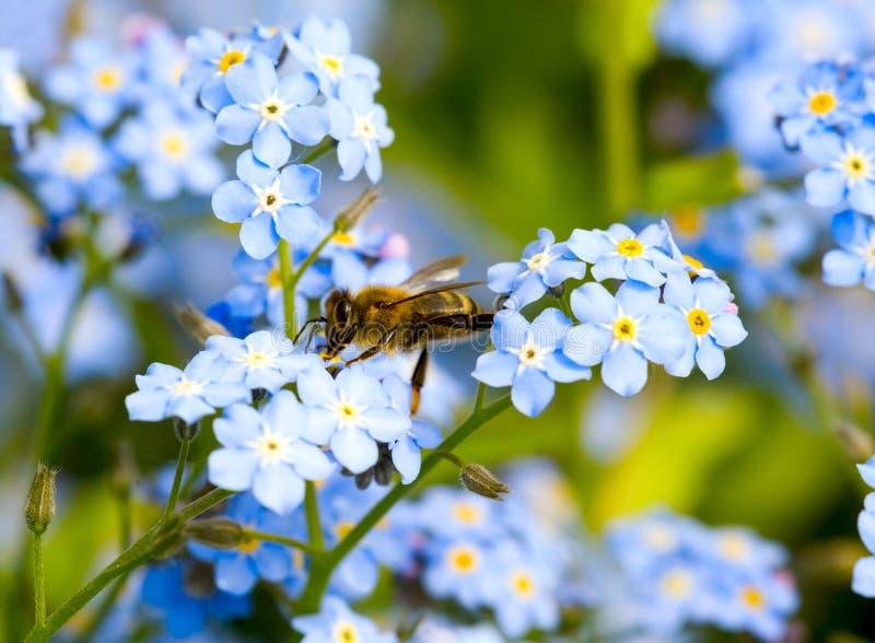 Ape di impollinazione sul fiore immagine stock
