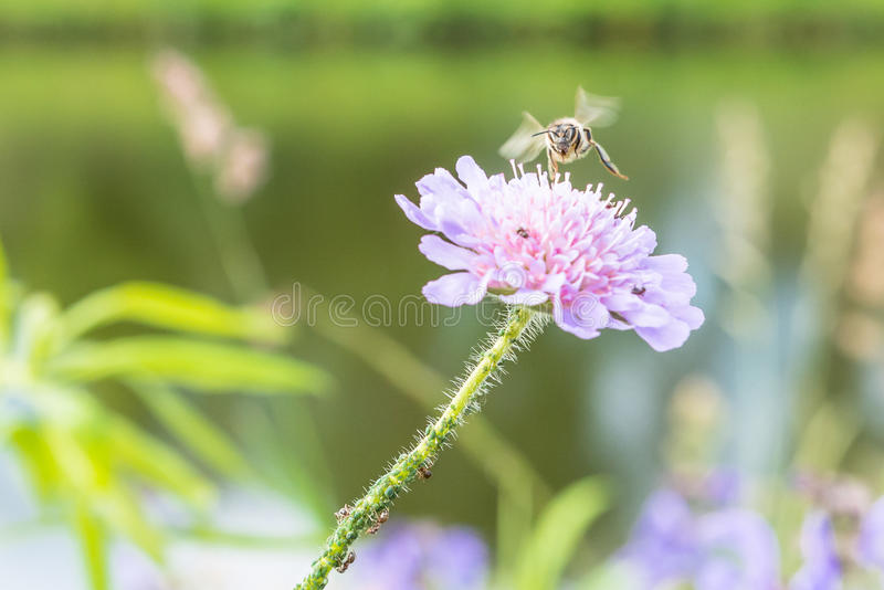 Ape di volo e un fiore con le formiche ed il pidocchio della vite immagine stock libera da diritti